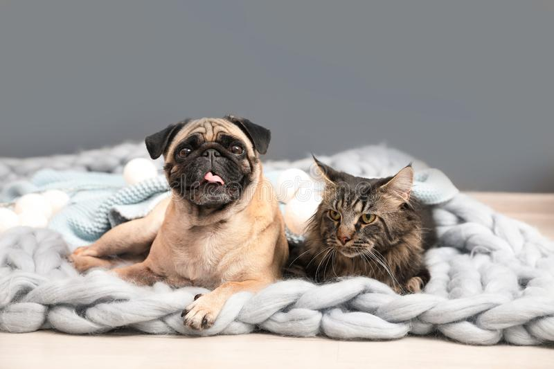 Cute cat and pug dog with blankets on floor. At home. Cozy winter royalty free stock images