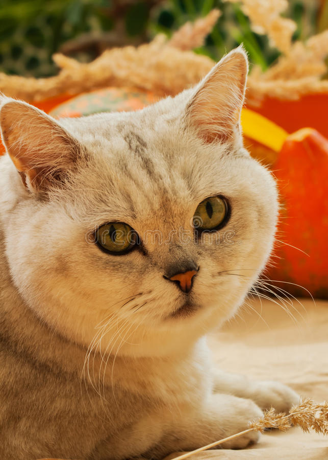 Cute cat and pumpkin. Thanksgiving Day, family holiday, Halloween . Sunny photo, vibrant autumn background stock photo
