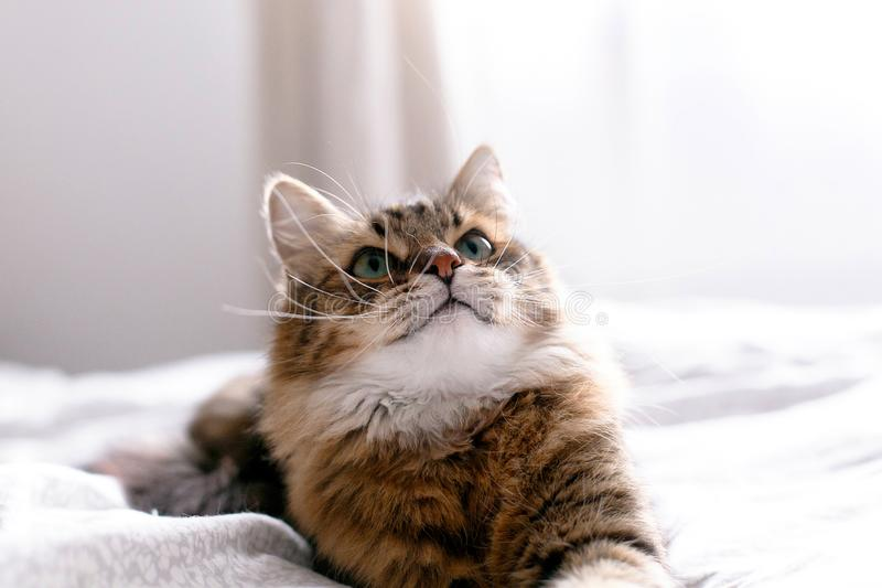 Cute cat relaxing on white bed in sunny bright stylish room. Maine coon with green eyes lying and looking with funny emotions on. Cute cat relaxing on white bed stock image