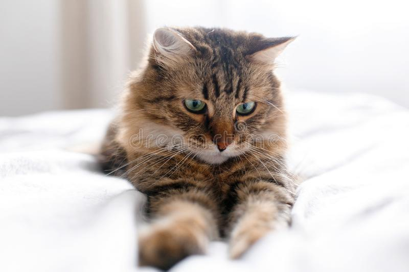Cute cat relaxing on white bed in sunny bright stylish room. Maine coon with green eyes lying and looking with funny emotions on. Comfortable bed. Space for stock image