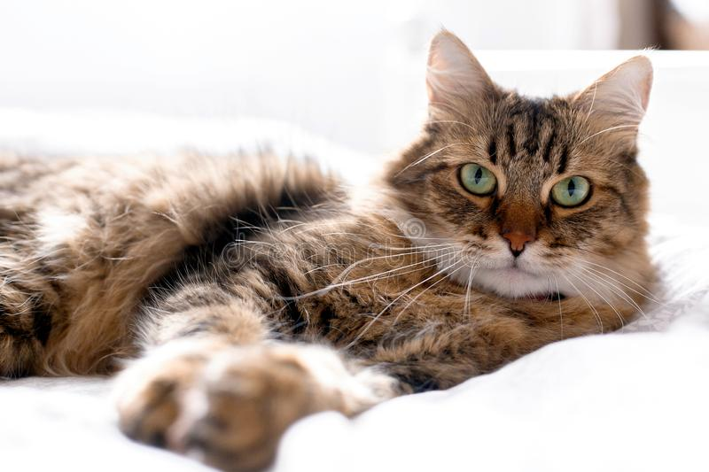 Cute cat relaxing on white bed in sunny bright stylish room. Maine coon with green eyes lying and looking with funny emotions on. Comfortable bed. Space for stock photos