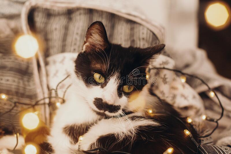 Cute cat resting in christmas festive lights bokeh on grey blanket at home. Cozy moody winter evening. Holidays and pets. Funny stock image