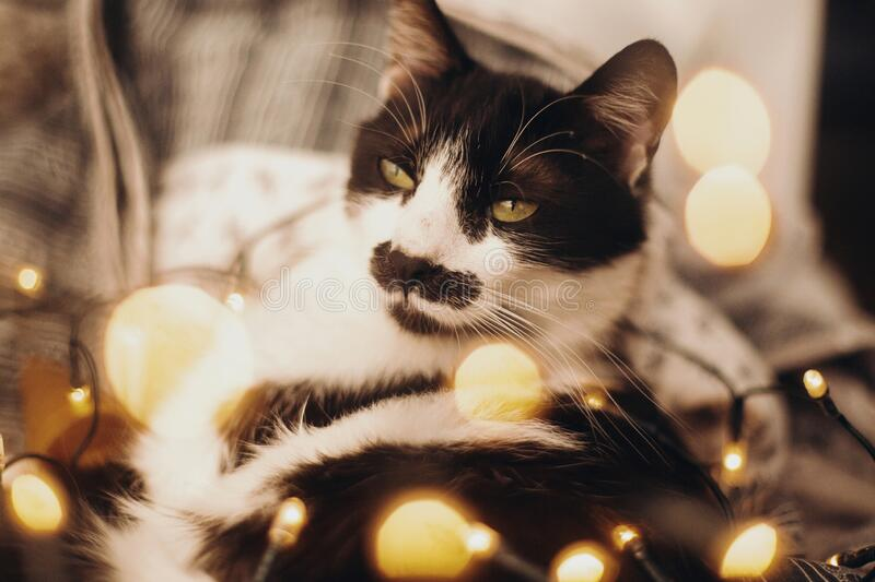 Cute cat resting in christmas festive lights bokeh on grey blanket at home. Cozy moody winter evening. Holidays and pets. Funny stock images