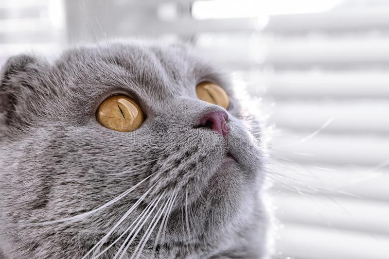 Cute cat resting near window. Blinds royalty free stock photography