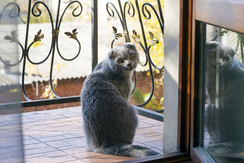 A cute cat is sitting on the balcony with a wrought-iron fence, with a warm autumn day looking at the owner with a request. Wants to walk. Scottish Fold breed royalty free stock photo