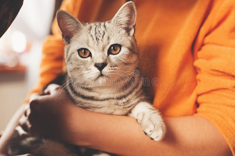 Cute cat sitting in hands royalty free stock photo