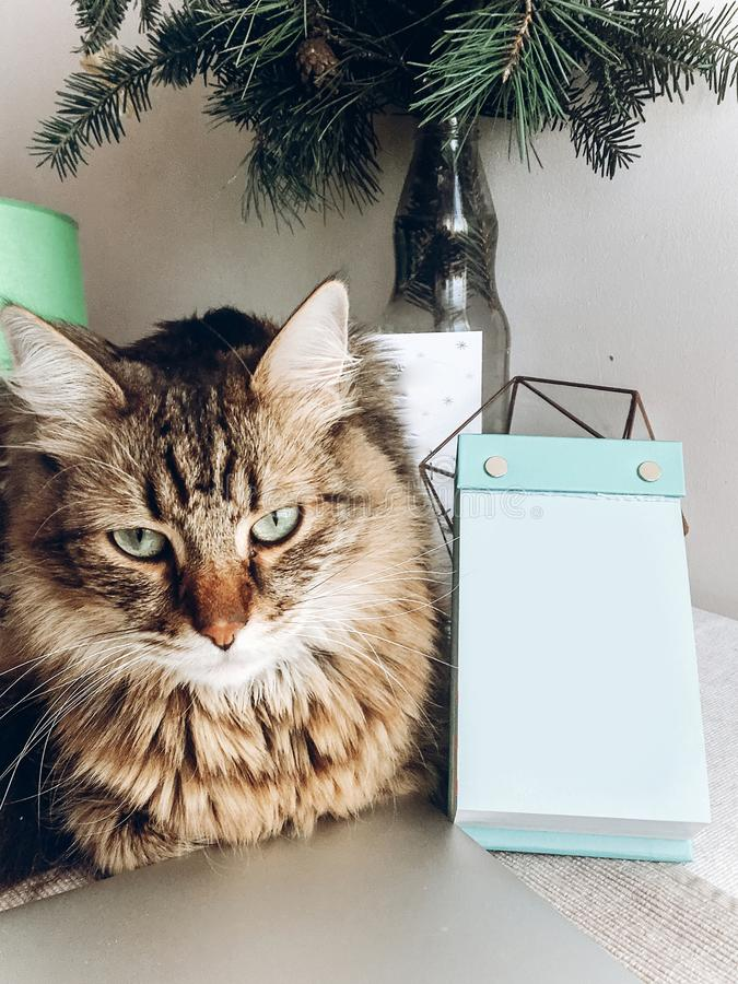 Cute cat sitting on table. maine coon with funny look and emotions sitting on table at empty card or calender royalty free stock photos