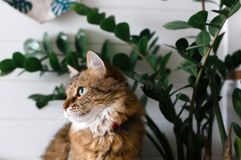 Cute cat sitting under green plant branches and relaxing on wooden shelf on white wall backgroud in stylish room. Maine coon with royalty free stock images