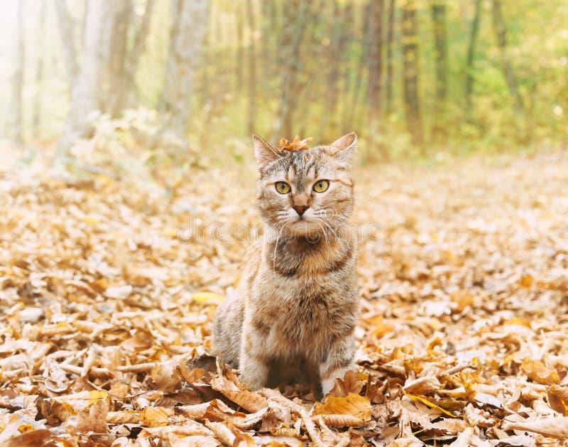 Cute cat sitzt zwischen trocken gefallenen Blättern im Herbstwald stockbild