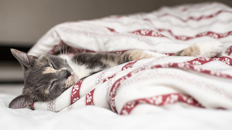 Cute cat sleeping on a bed wrapped in a blanket stock image