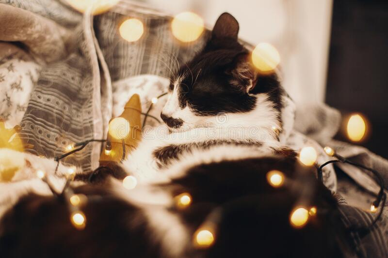 Cute cat sleeping in christmas festive lights bokeh on grey blanket at home. Cozy moody winter evening. Holidays and pets. Funny royalty free stock photo
