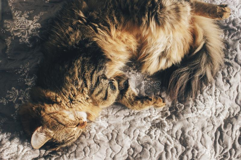 Cute cat sleeping on comfortable bed in morning light in stylish stock photography