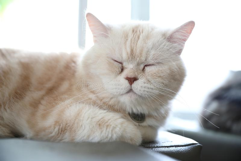 Cute cat in sleepy mode. In close up royalty free stock image