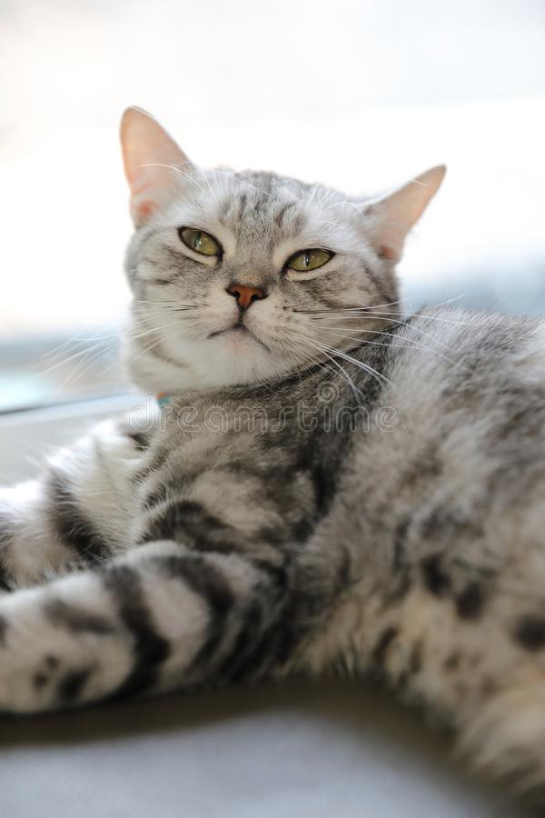 Cute cat in sleepy mode. In close up royalty free stock photo