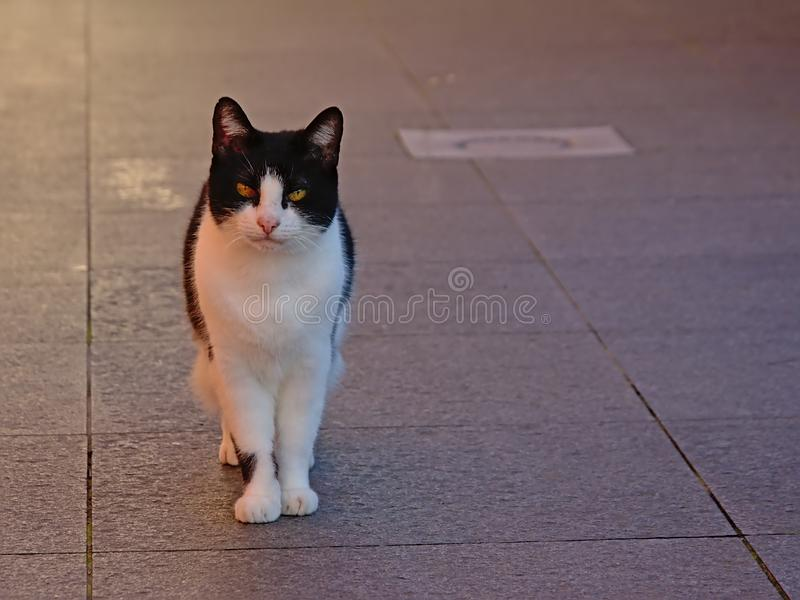 Cute cat standing on a terace. Cute curious black and white cat standing on a terace, seective focus - catus felis royalty free stock photos