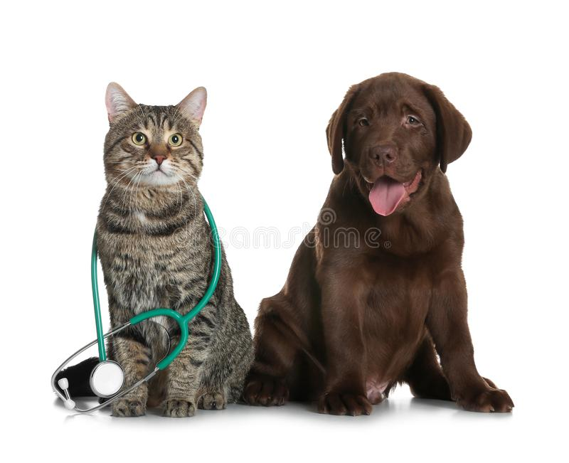 Cute cat with stethoscope as veterinarian and dog. On white background stock photography