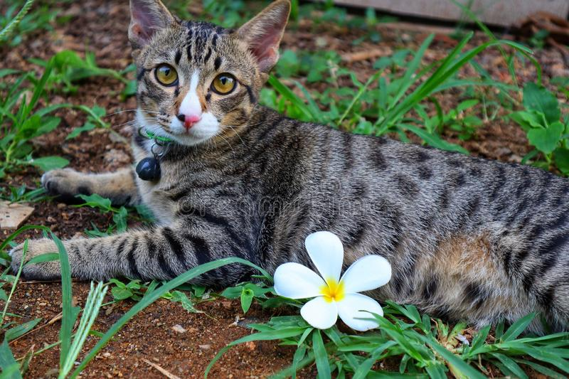 Cute cat tabby portrait with white flowers placed on the bed on the ground. royalty free stock photo
