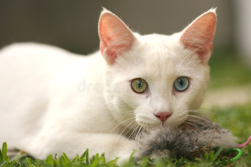 Cute cat with toy mouse stock photography