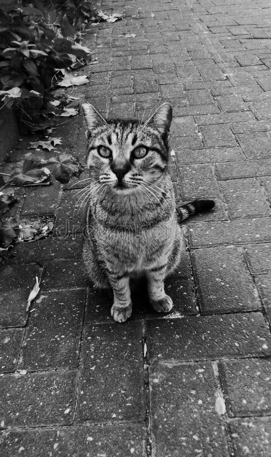 Cute cat on the way. One grey baby adorable cat in street in daylight.The kitten looks curious to me with big beautiful eyes.The image is in monochrome stock photography