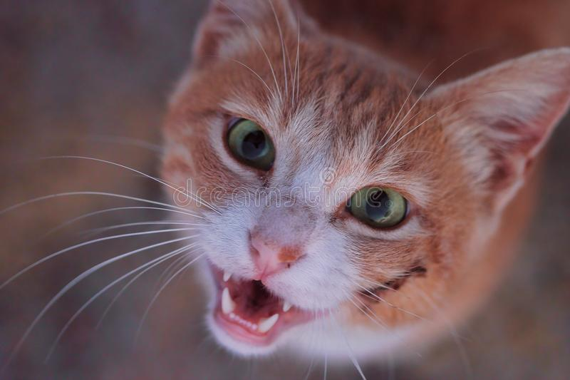 Cute cat with a wound smiling or staring into the camera. While showing its teeth and its green, clear eyes, which look almost scary royalty free stock photos