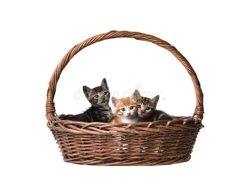 Cute cats in the basket. Three cute cats in the basket with the white backgrounds royalty free stock photo