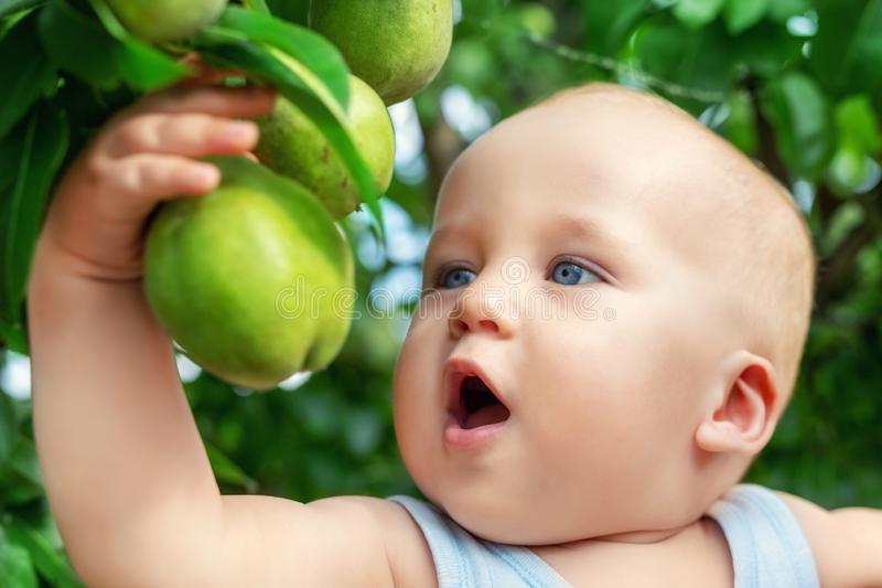 Cute caucasian baby boy picking up fresh ripe green pear from tree in orchard in bright sunny day. Funny child biting delicious royalty free stock photos