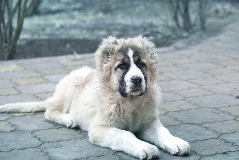 Cute Caucasian shepherd puppy. Caucasian shepherd dog is 4 month. Beautiful happy puppy is in an garden royalty free stock images