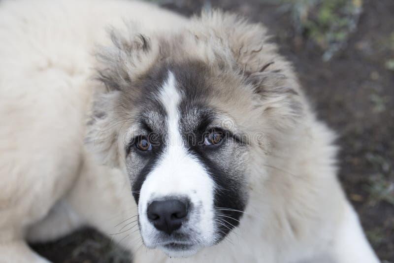 Cute Caucasian shepherd puppy. Caucasian shepherd dog is 4 month. Beautiful happy puppy is in an garden stock images
