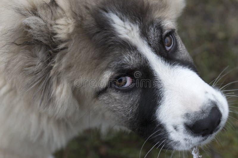 Cute Caucasian shepherd puppy. Caucasian shepherd dog is 4 month. Beautiful happy puppy is in an garden stock photo