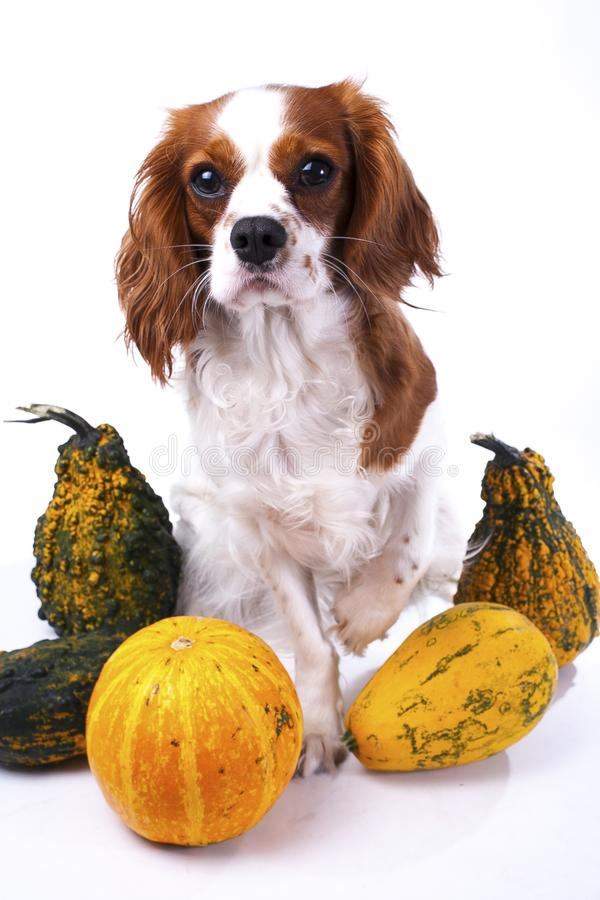 Cute cavalier king charles spaniel dog puppy on isolated white studio background. Dog puppy with pumpkins pumpkin royalty free stock photos