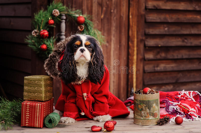 Cute cavalier king charles spaniel dog in red coat celebrating christmas at cozy country house. Cute cavalier king charles spaniel dog in red coat celebrating royalty free stock photos