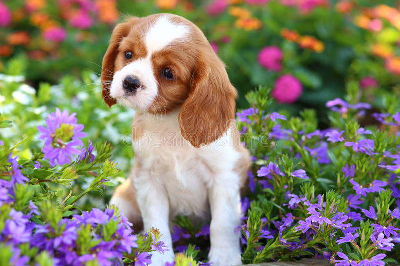 Cute Cavalier King Charles Spaniel Puppy royalty free stock photography