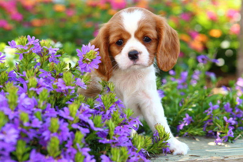 Cute Cavalier King Charles Spaniel Puppy 2 stock photography