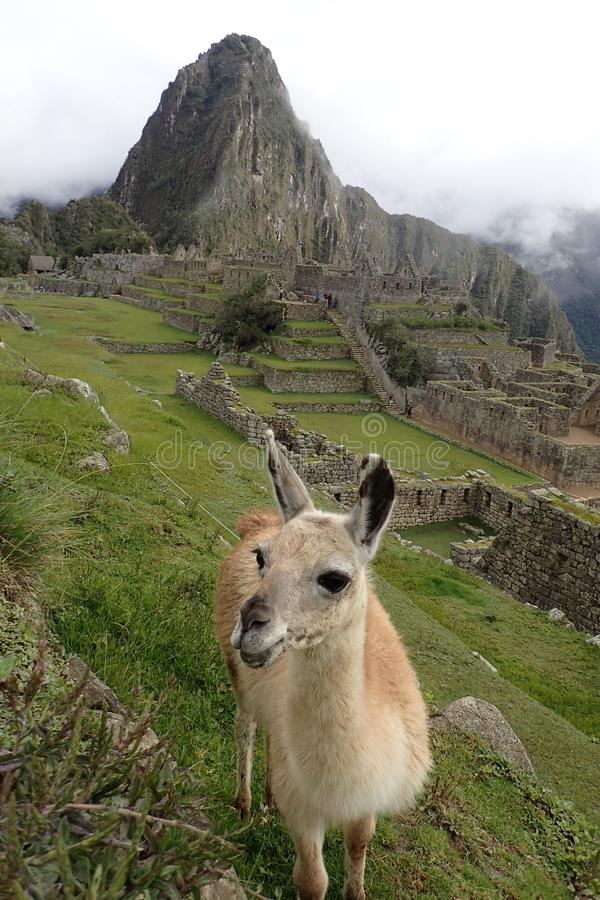 Cheeky llama smiling in front of Machu Picchu stock photography