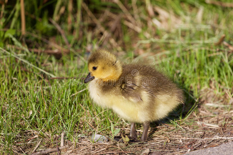 Cute chick royalty free stock photos