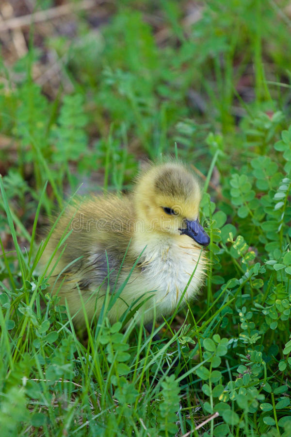 Cute chick in the grass royalty free stock photography