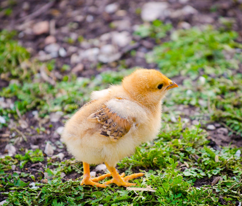 Cute chick stock image