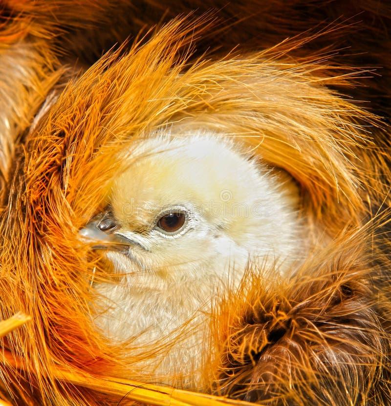 Free Cute Chicken Chick Bird Stock Photos - 31162293