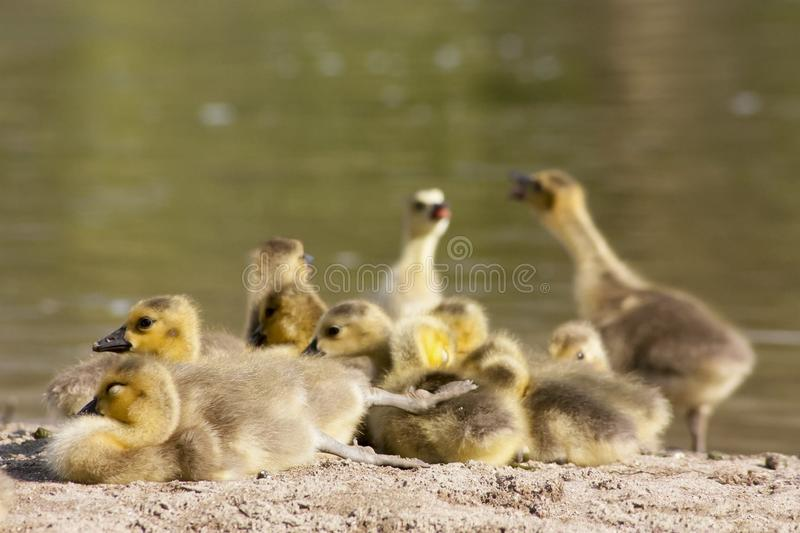 Cute chicks of canada geese family stock photo