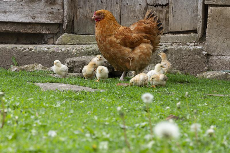 Cute chicks with their mother in front of an old door. Cute, yellow freerange young chicks exploring backyard with their mother. Looking for insects and gazing stock photo