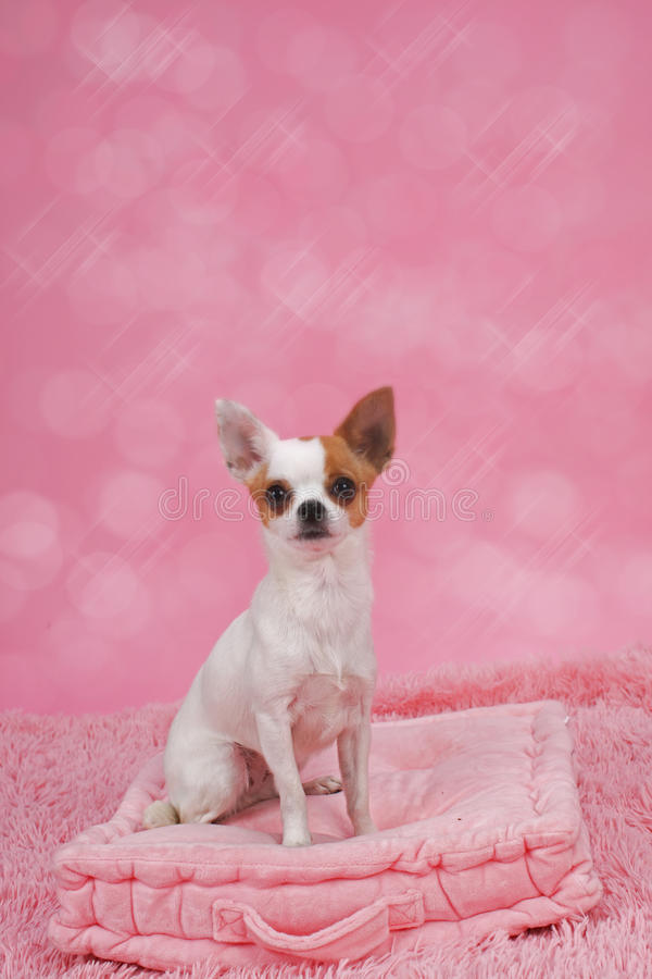 Cute chihuahua dog in basket. In front of pink background royalty free stock images