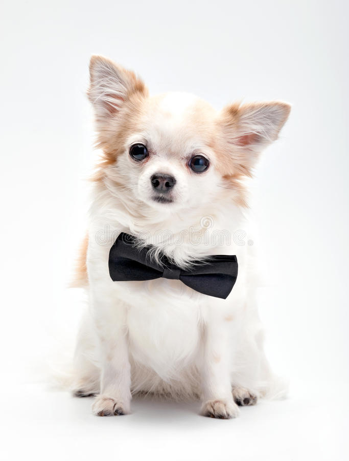 Cute Chihuahua dog with black bow tie stock images