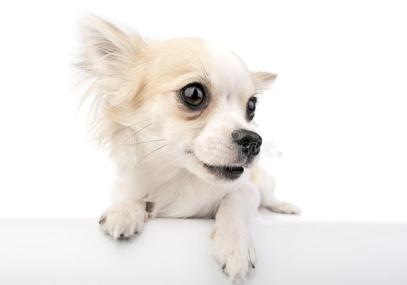Cute chihuahua dog with parted lips portrait. Close-up over a white banner stock photos