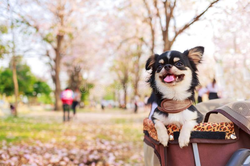 Cute chihuahua dog. royalty free stock images