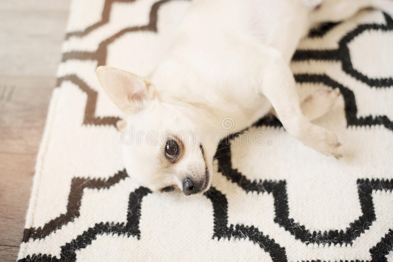Cute Chihuahua dog sits on Scandinavian rug carpet on the floor. Indoors, sweet home. Cute Chihuahua dog sits on Scandinavian rug carpet on the floor. Indoors royalty free stock image