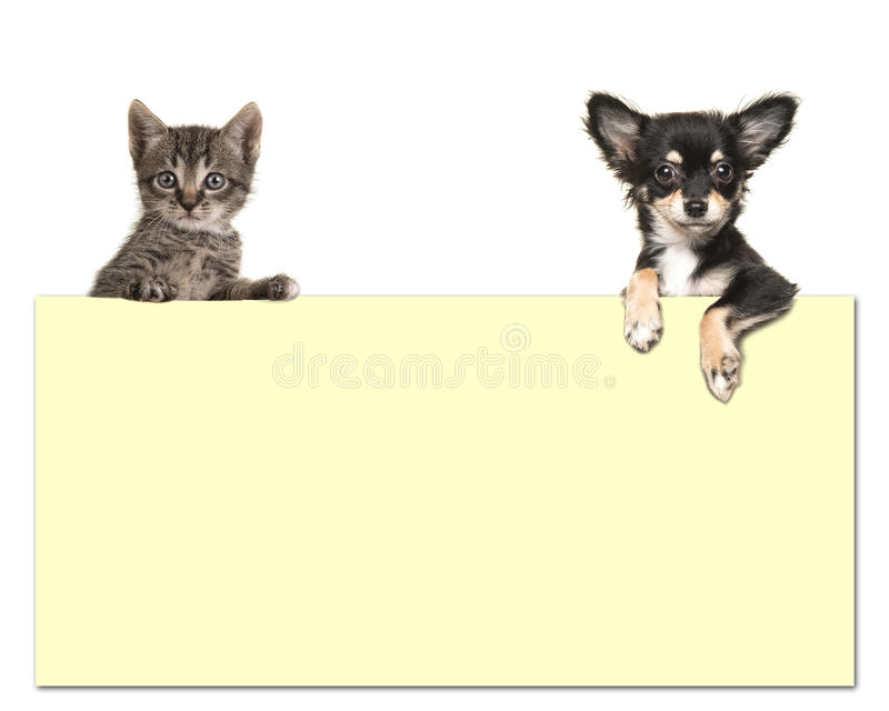 Cute chihuahua dog and a tabby baby cat holding an yellow paper. Board with room for text on a white background stock photography