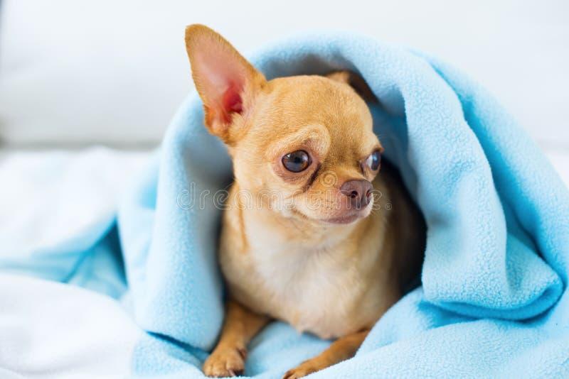 Cute chihuahua doggy sitting sofa Breed mini dog royalty free stock photography