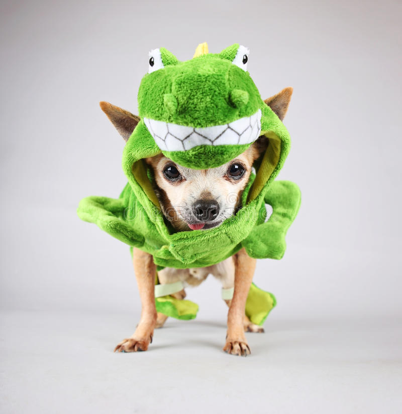 A cute chihuahua dressed up in a green dinosaur or a lizard costu. Cute chihuahua dressed up in a green dinosaur or a lizard costume isolated on a gray royalty free stock photography