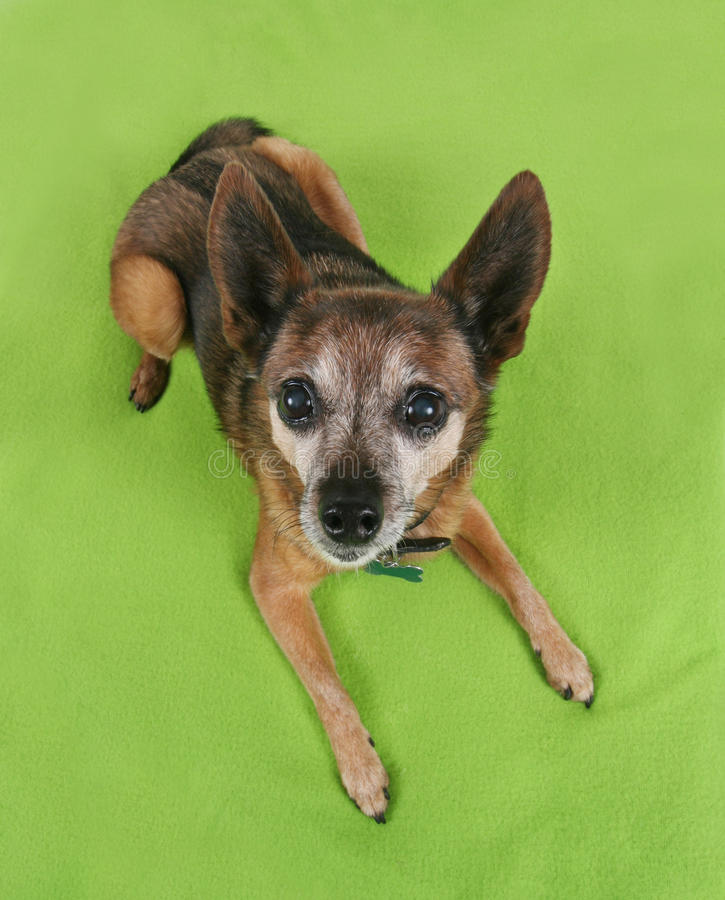 Download A Cute Chihuahua Looking Up Stock Image - Image: 27922021