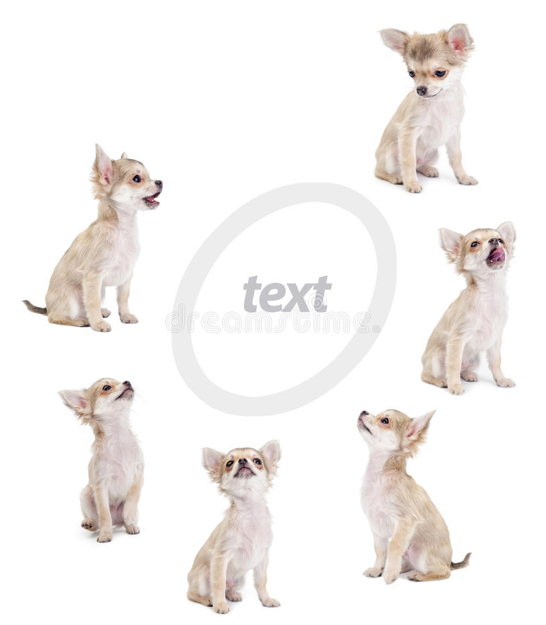 Cute chihuahua puppies royalty free stock image